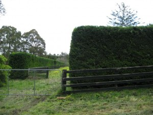 large_hedge